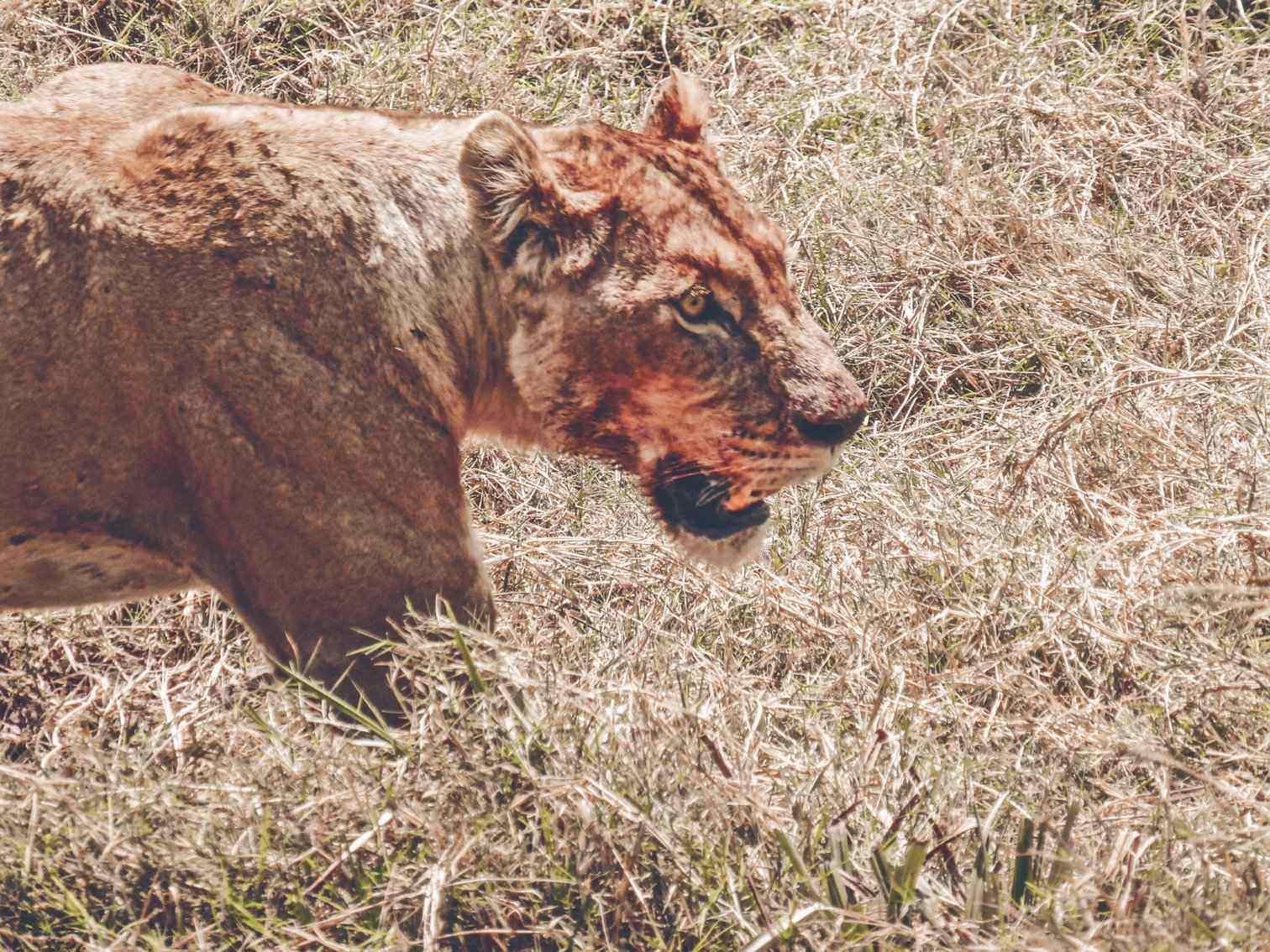 Lion Close Up Safari