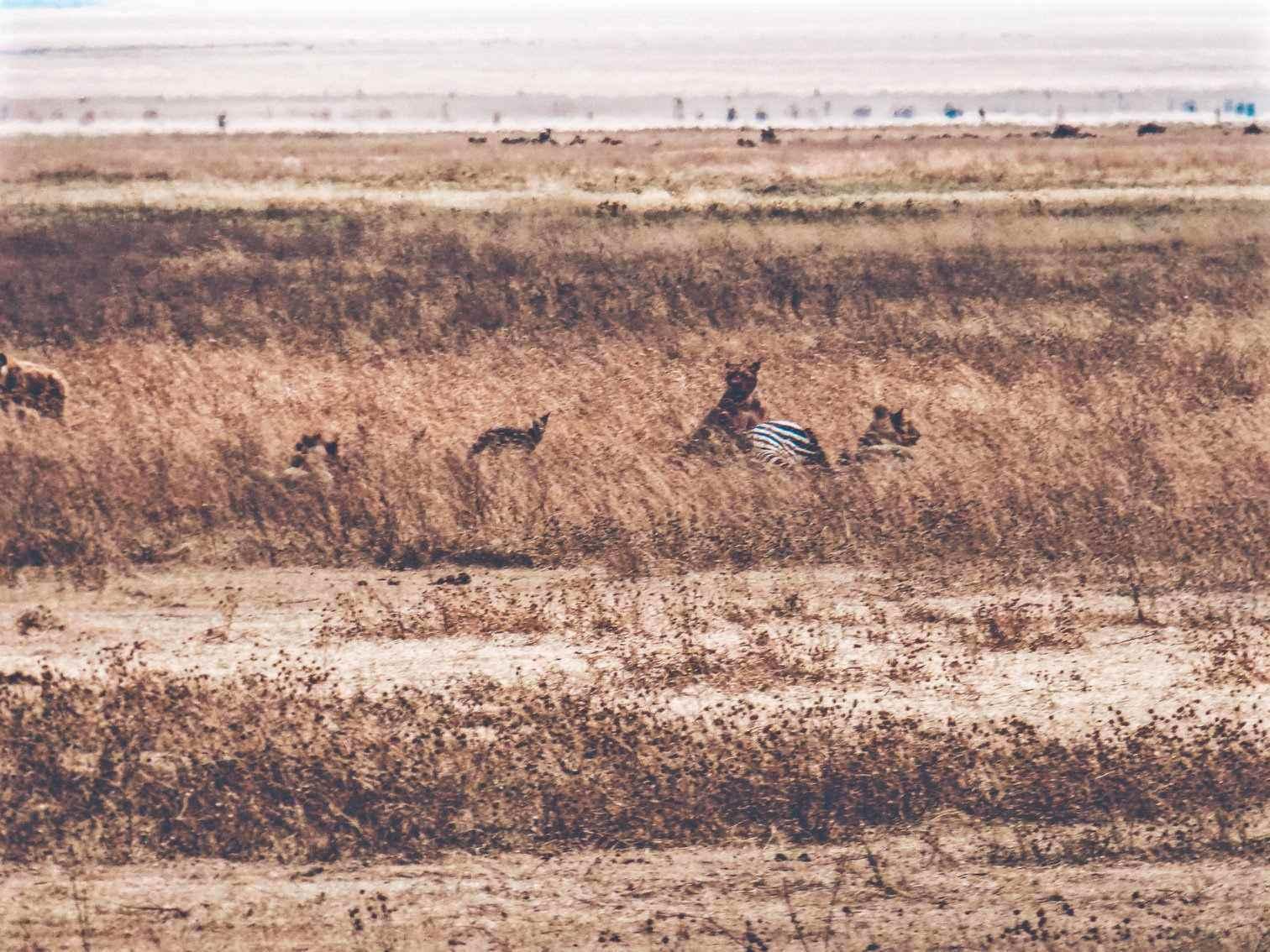Lion Hunt Ngorongoro