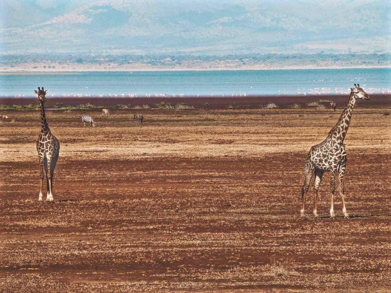 Manyara Giraffes