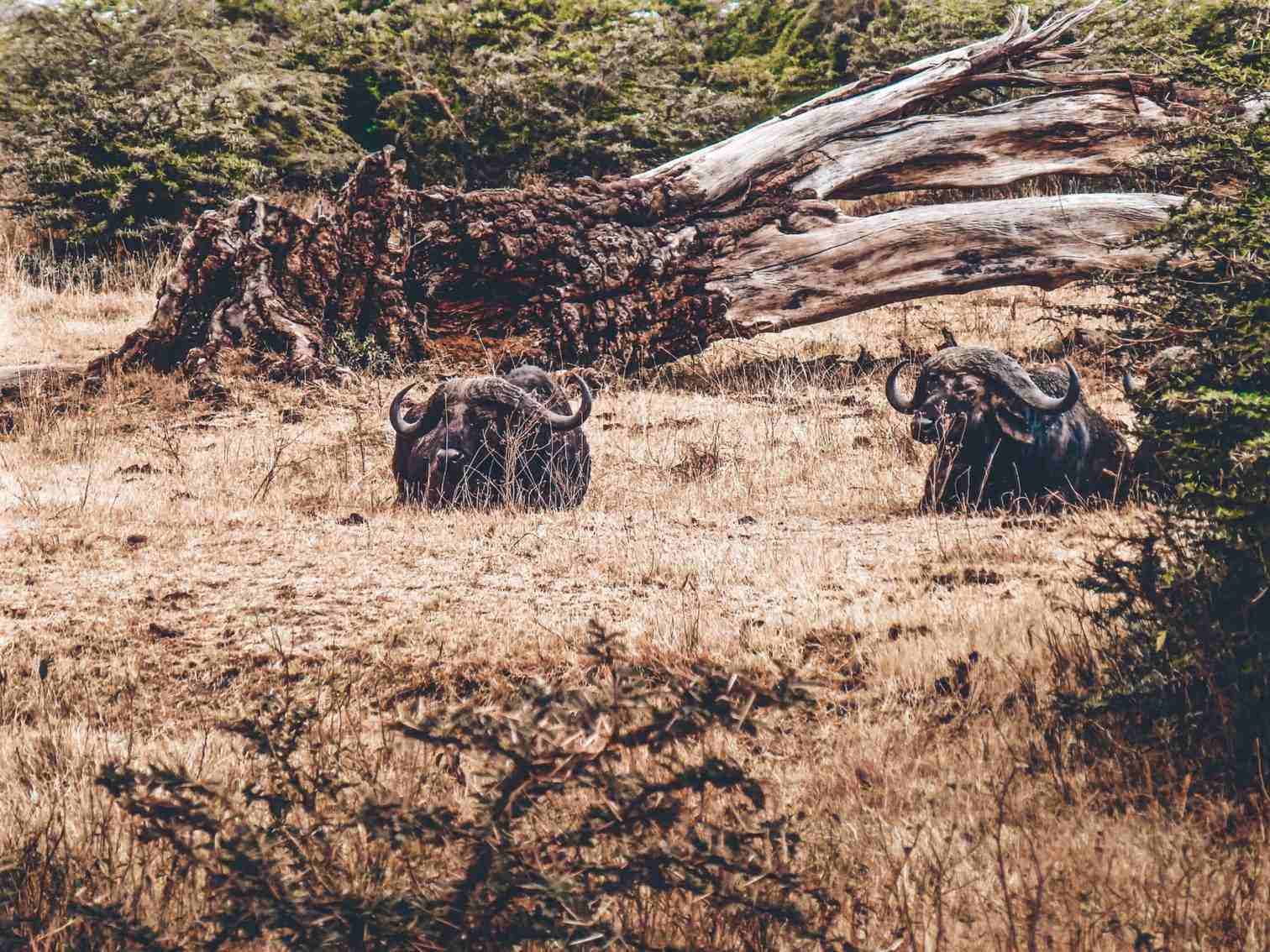 Ngorongoro Buffalo