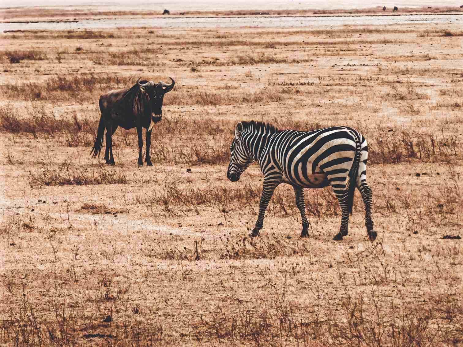 Ngorongoro Safari Zebra