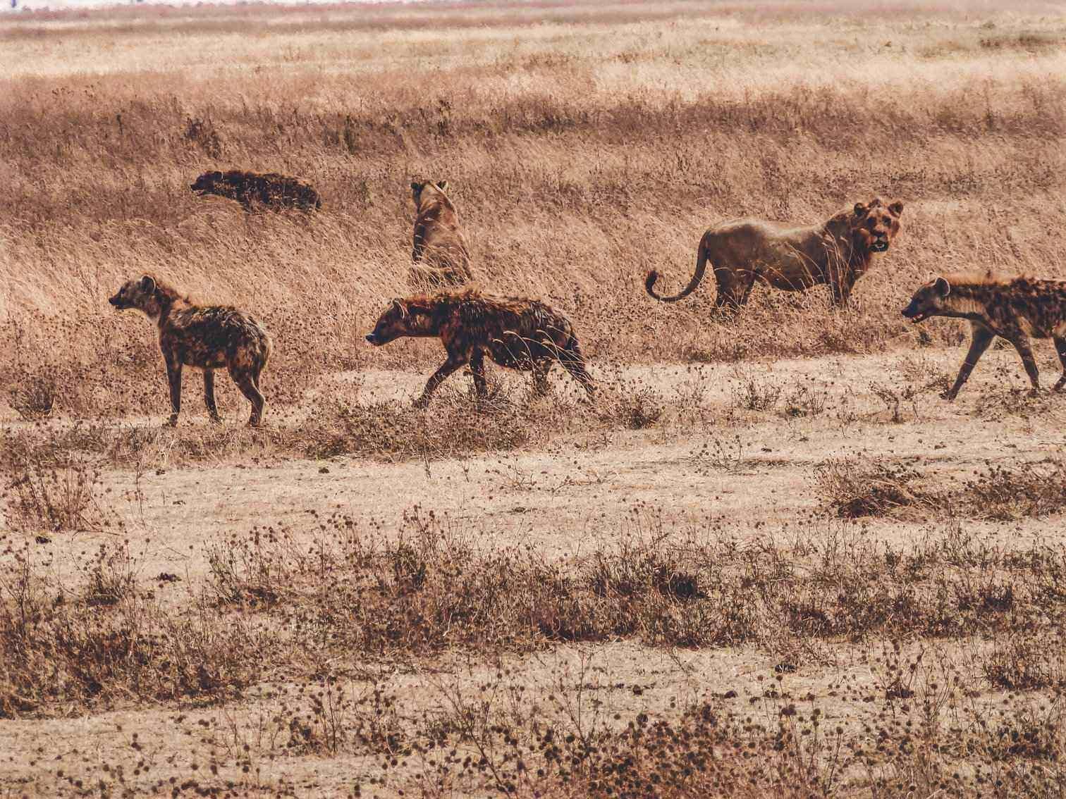 Ngoronoro Lions