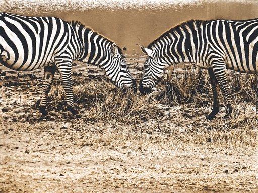 Zebras on Safari
