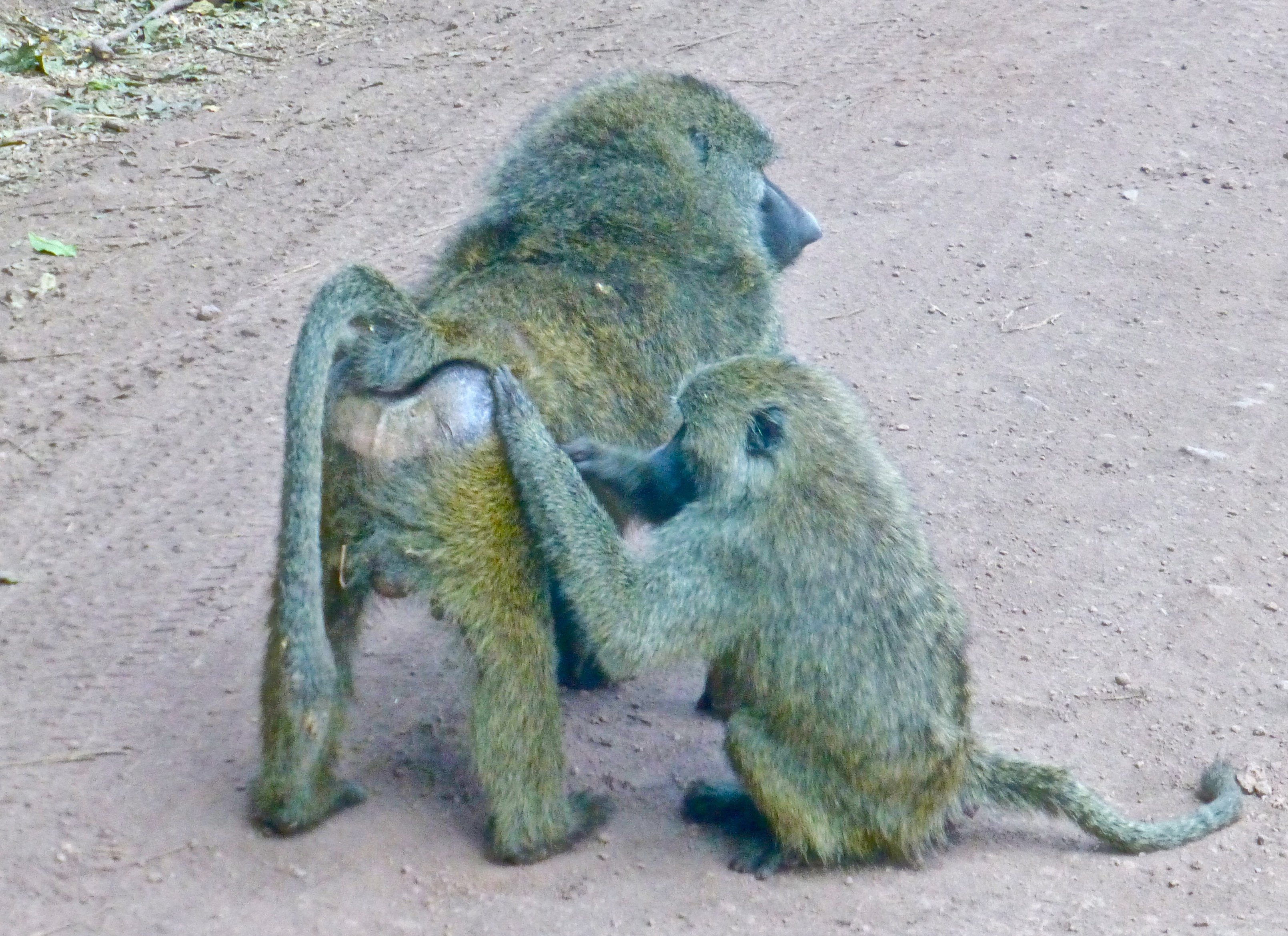 Lake Manyara Safari baboons