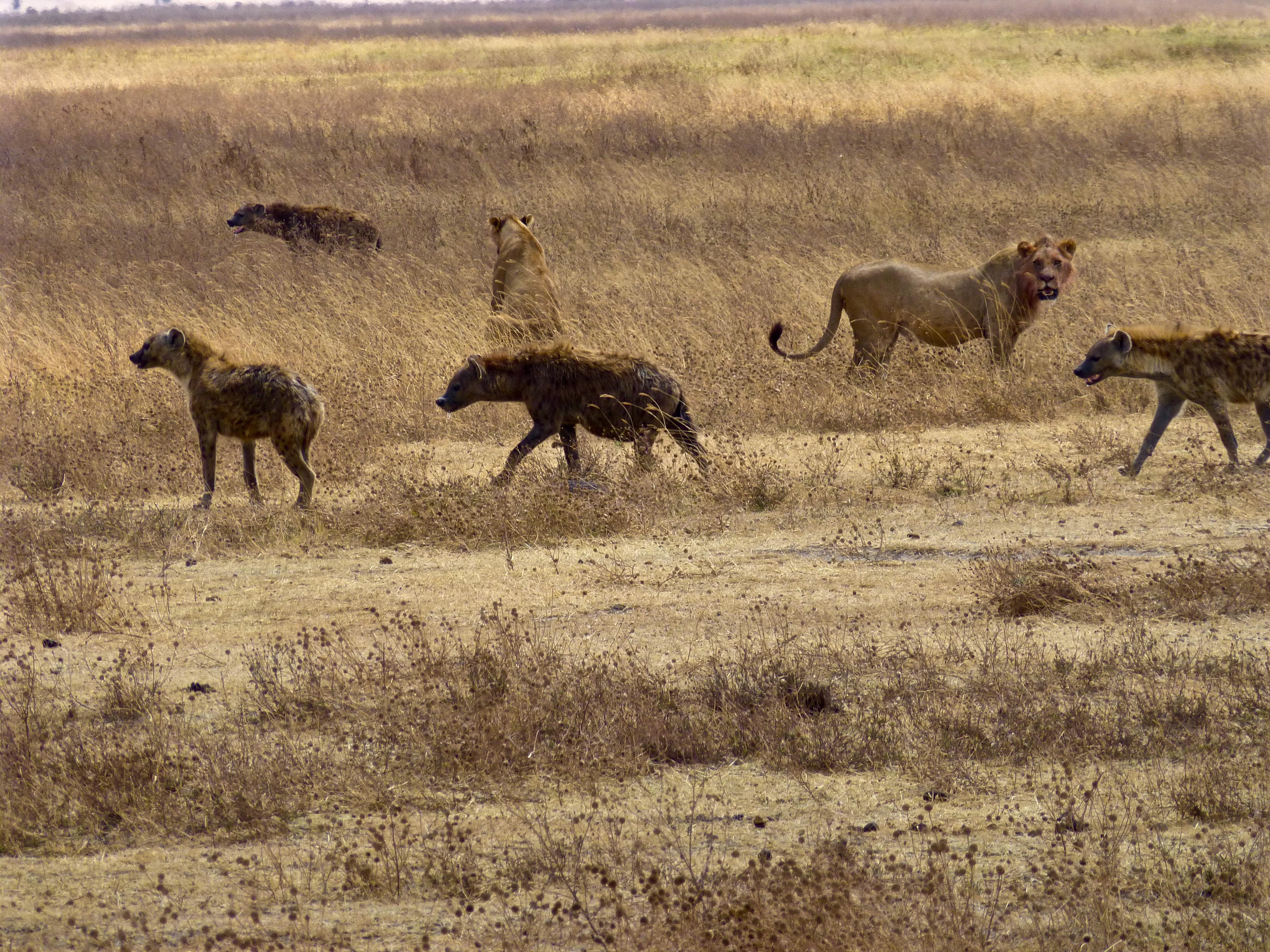 Ngorongoro Crater safari lion hyenas