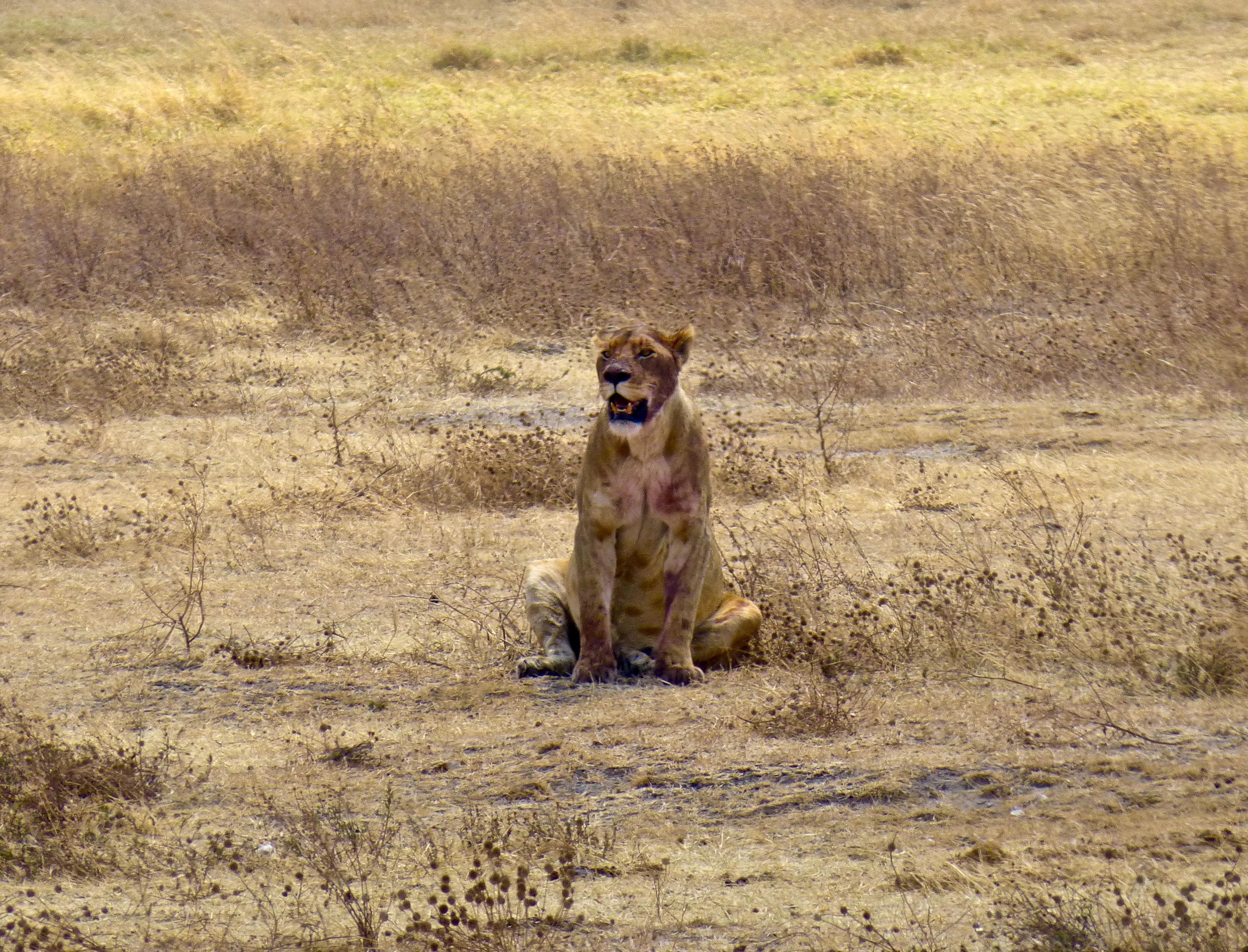 Ngorongoro Crater safari lioness
