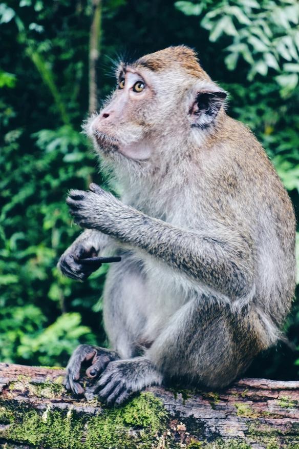 Monkey eating an Oreo