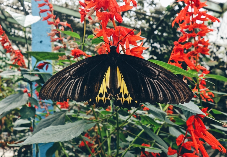 Giant Butterfly Malaysia