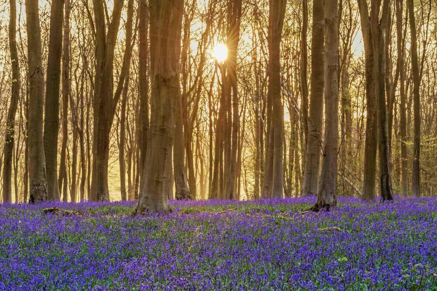 Micheldever Wood Bluebells